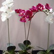 Phalaenopsis Orchid Plant single stem in white/cream and fushia