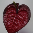 Anthurium - Dark red 1030