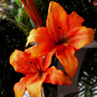 Lily  Asiatic 1036 Red  OR  Orange
