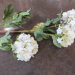 Viburnum snowball smaller head