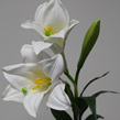 Lily - Easter or St Josephs/Christmas Lily 1239
