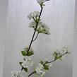 Cherry /peach Blossom 1045