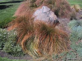 """Carex testacea """"Prairie Fire"""""""
