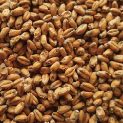 Gladfield Wheat