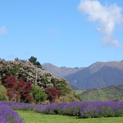 Lavender Magic Farm Pictures
