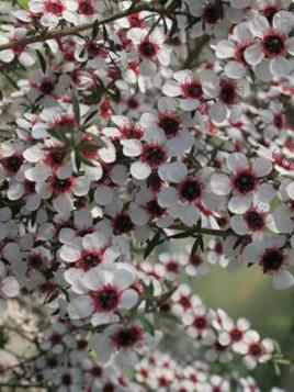 Leptospermum scoparium-High UMF