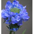 Scabiosa spray water stem 1129 blue 1132 cream/white